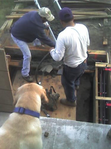 Goldie watching concrete poured into forms for front stairs