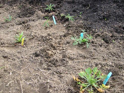 planting, closer