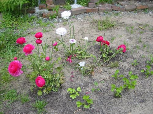 Ranunculus bed