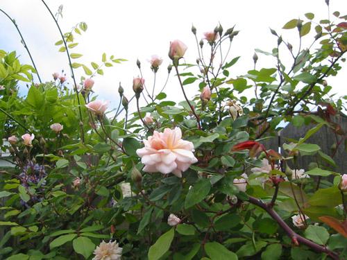 Cecile Brunner in bloom