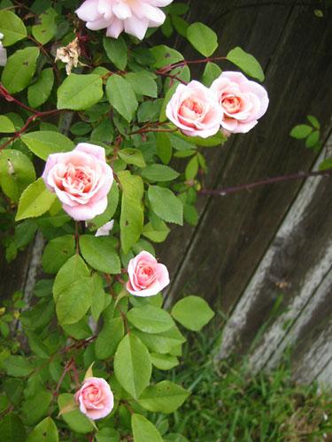 Cecile Brunner blossoms