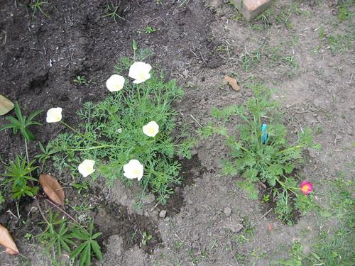 non-orange poppies