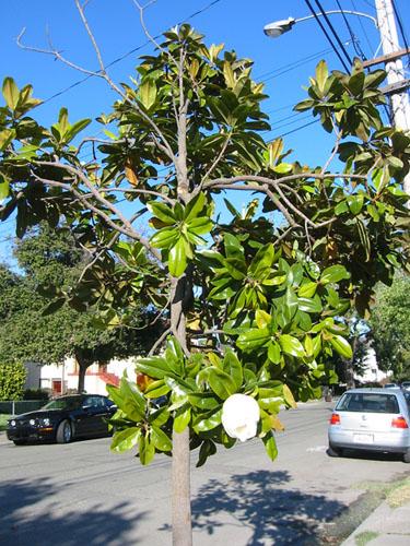 Broken magnolia