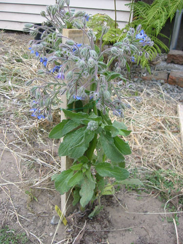 Stomped borage