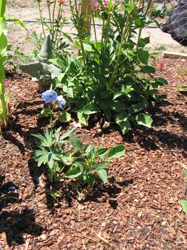 Delphinium belladonna Cliveden Beauty