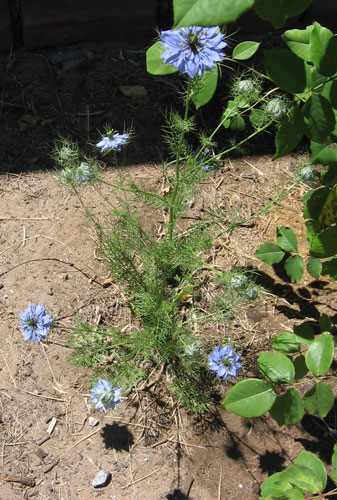 Nigella damascena Shorty Blue