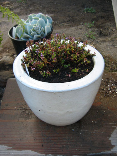 Thyme in a white pot