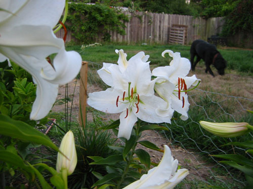 Lilies and dog