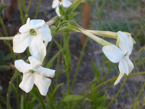 White Nicotiana