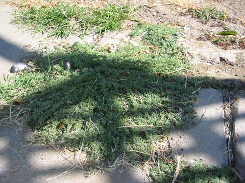 thyme blocks weeds