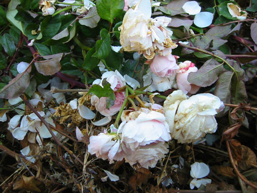 Rose prunings