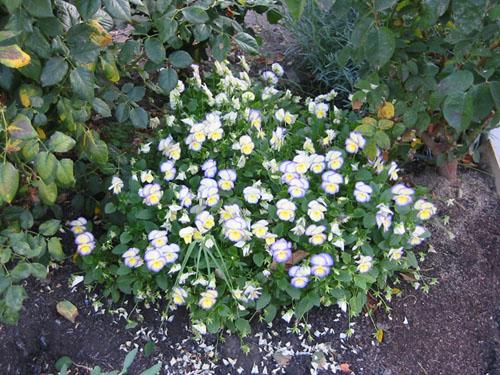Violas under the roses