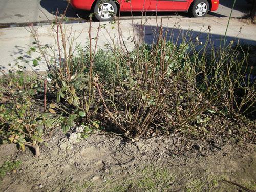 Rose hedge, phase one