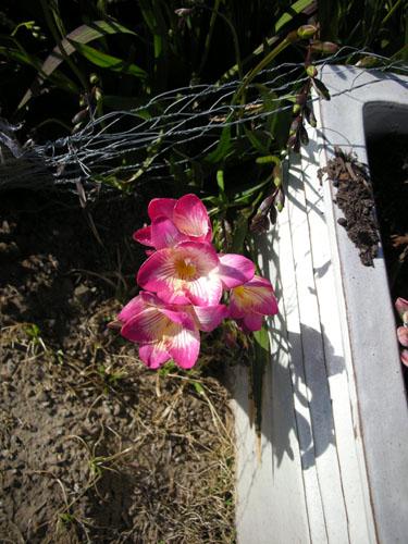 Freesias in bloom