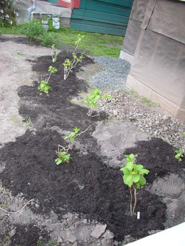 Planted hydrangeas