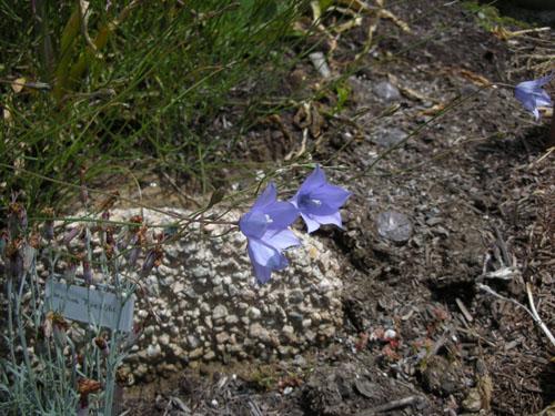 Wahlenbergia blooms