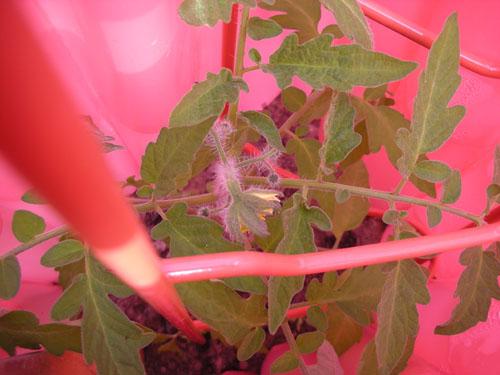 Black Krim tomato blossom
