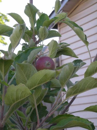 Jonathan apple