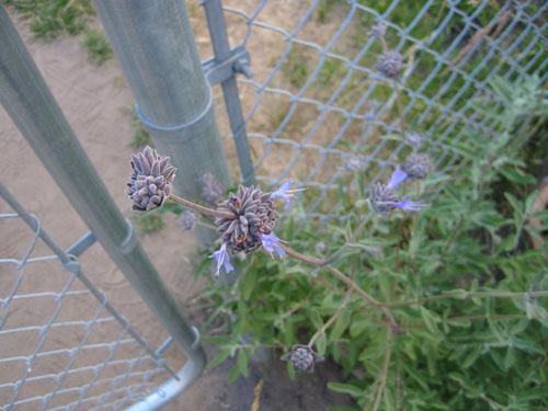 Salvia clevelandii Pozo Blue