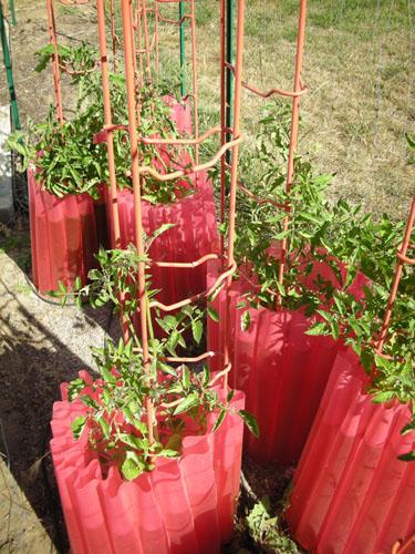Big tomato bed