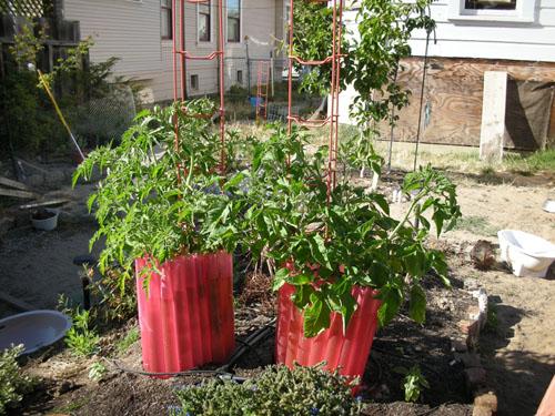 Brandywine and Roma tomato plants