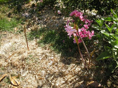 Amaryllis belladonna in the front garden