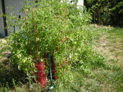 Tomato corral