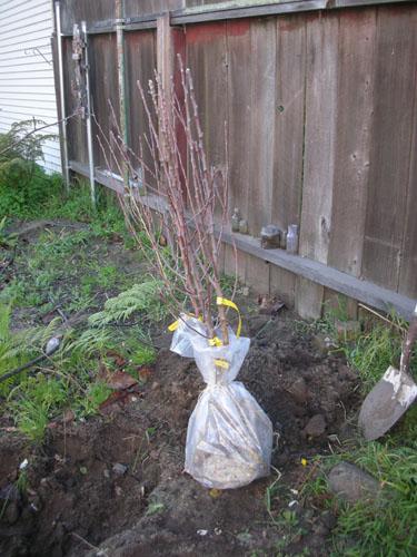 Bundled apple trees