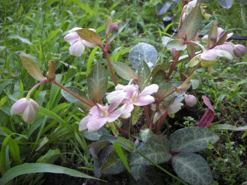 Helleborus lividus Pink Marble