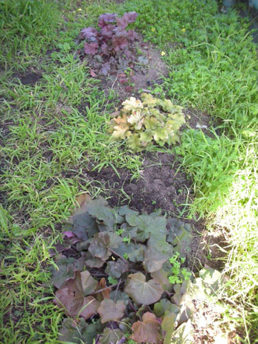Heucheras uncovered