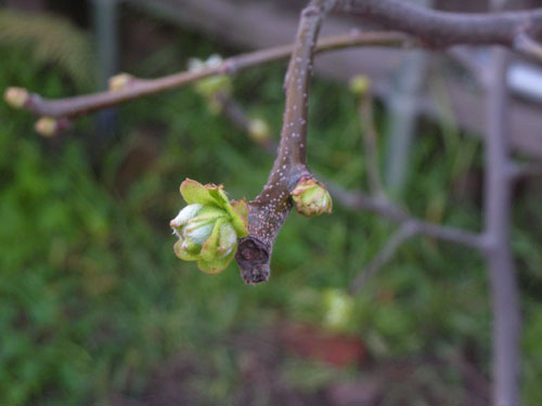 Quince bud