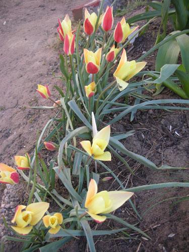 Clusiana tulips