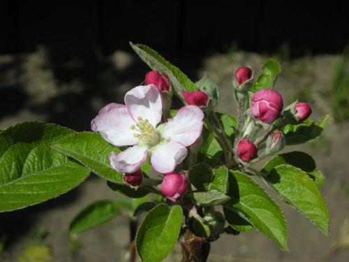 Apple blossom on Summer Rambo