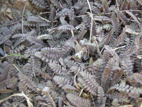Cotula leptinella
