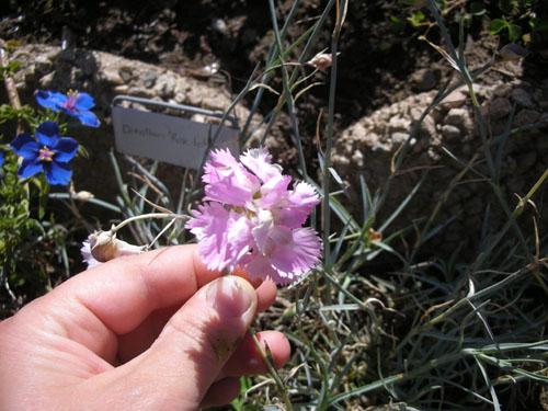 Dianthus Rose de Mai