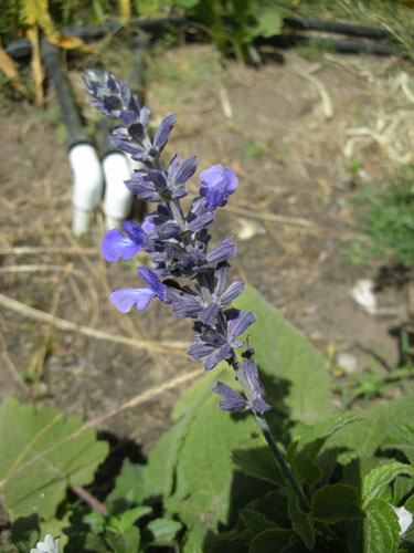 Salvia Indigo Spires