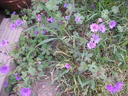 Bill Wallis geranium