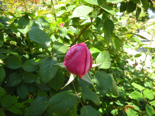 Rose in bud