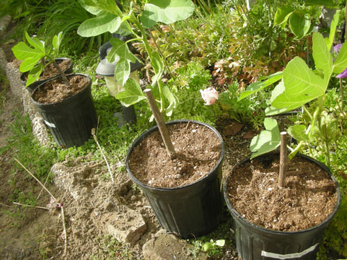 Figs after repotting