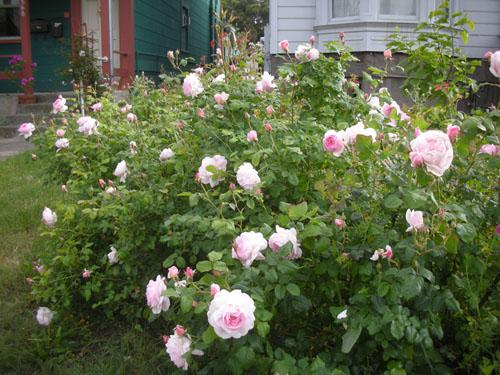 Rose hedge in bloom