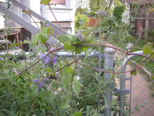 Salvia clevelandii vs. clematis