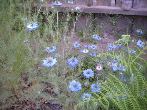 Nigella patch
