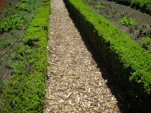 Wood chips between boxwood