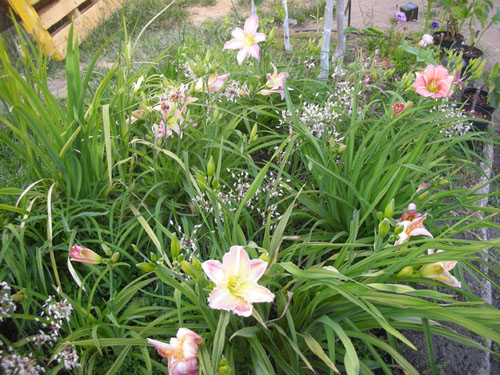 Daylilies and allium