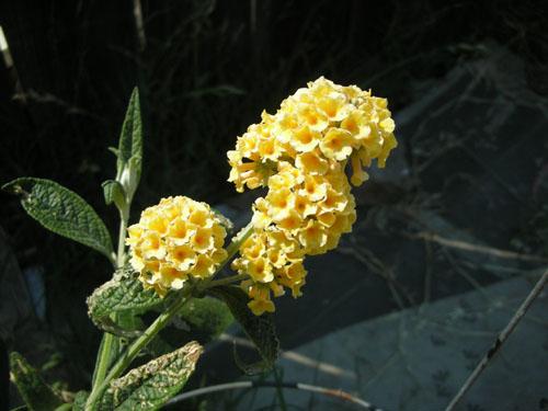 Buddleia honeycomb