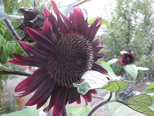 Sunflower Chocolate Cherry