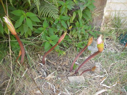 Amaryllis belladonna buds