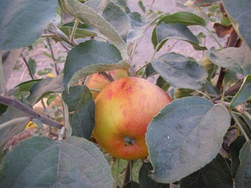 Summer Rambo apple