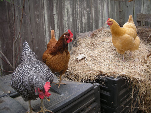 Chickens watching the compost tumbler