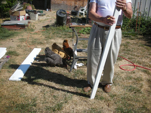 The chickens can help with carpentry